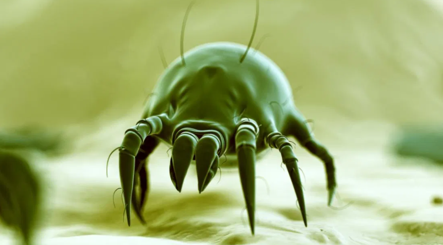 Does steam cleaning carpets kill dust mites? 1